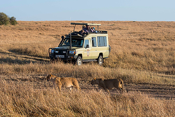 Tourists watching Lions (Panthera leo) walking through the